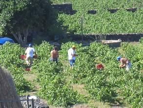 Culture traditionnelle de la vigne, à Pantelleria