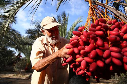 Palestine - A farmer from Palestine checks the palm tree fruit to make sure it is disease-free (this is one of the key skills the farmer must master to properly care for the palm tree)